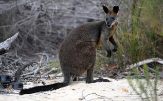 epa06471938 'Syd' the swamp wallaby is seen after being released by Taronga Zoo veterinarian Larry Vogelnest and NSW National Parks and Wildlife Service Ranger Rachel Miller into bushland at Ku-ring-gai Chase National park, north of Sydney, Australia, 25 January 2018. The wallaby made headlines last week when NSW Police spotted it hopping across the Sydney Harbour Bridge.  EPA/DAN HIMBRECHTS  AUSTRALIA AND NEW ZEALAND OUT