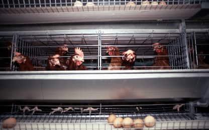 Influenza aviaria, seconda ondata in Giappone in meno di un mese