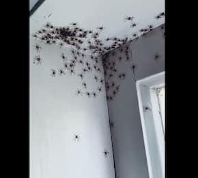 Sydney, la stanza di una bambina invasa dai ragni. VIDEO