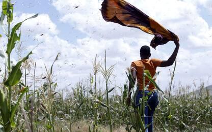 Kenya, invasione di locuste: gli sciami devastano i raccolti. VIDEO