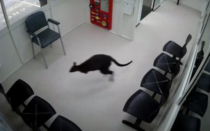 Australia, un wallaby entra in pronto soccorso. VIDEO