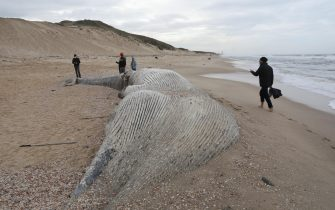 epa09023224 People view a dead 17-meter-long long Fin whale that washed up on the Nitzanim shoreline at the Mediterranean Sea near the city of Ashkelon, Israel, 19 February 2021. The Israeli Nature and Parks Authority is investigating the cause of death and said that Fin whales are not common on the eastern side of the Mediterranean  EPA/ABIR SULTAN
