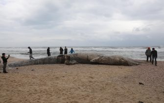 epa09023191 People stand around a dead 17-meter-long fin whale washed ashore on the Nitzanim Shoreline at the Mediterranean Sea near the city of Ashkelon, Israel, 19 February 2021. The Israel Nature and Parks Authority is investigating the cause of death and claims that fin whales are not common on the eastern side of the Mediterranean  EPA/ABIR SULTAN