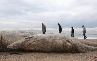 epa09023193 People stand around a dead 17-meter-long fin whale washed ashore on the Nitzanim Shoreline at the Mediterranean Sea near the city of Ashkelon, Israel, 19 February 2021. The Israel Nature and Parks Authority is investigating the cause of death and claims that fin whales are not common on the eastern side of the Mediterranean  EPA/ABIR SULTAN