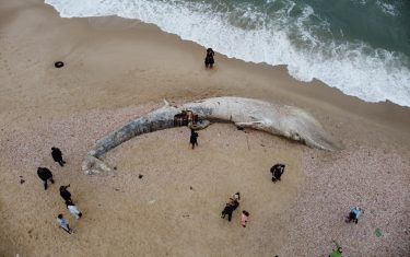 epa09023183 An aerial view shows people standing around a dead 17-meter-long fin whale washed ashore on the Nitzanim Shoreline at the Mediterranean Sea near the city of Ashkelon, Israel, 19 February 2021. The Israel Nature and Parks Authority is investigating the cause of death and claims that fin whales are not common on the eastern side of the Mediterranean  EPA/ABIR SULTAN