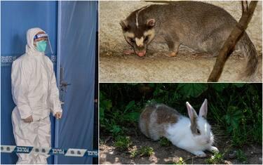 Covid, Oms, tassi-furetto e conigli