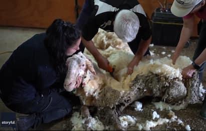 Nuova vita per Baarack, la pecora selvatica con 35 Kg di vello. VIDEO