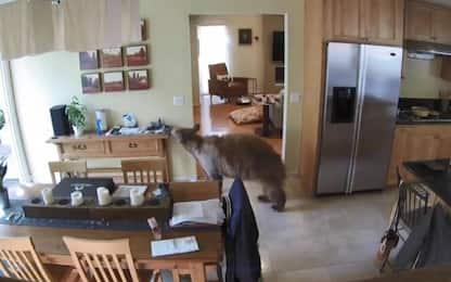California, orso passeggia nel salotto di una casa