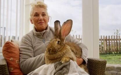 Gran Bretagna, rapito il coniglio più grande del mondo