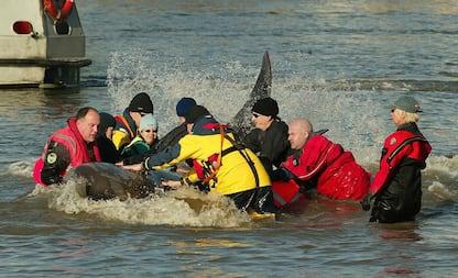 Stupore a Londra: un cucciolo di balena rimane incastrato nel Tamigi