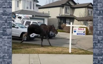 Usa, un alce corre per le strade di un quartiere residenziale. VIDEO