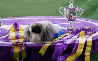 Il pechinese Wasabi è il cane più bello d'America. LE FOTO