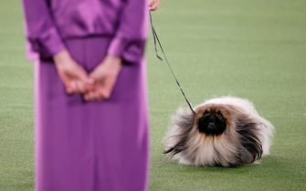 TARRYTOWN, NEW YORK - JUNE 13: Wasabi the Pekingese competes in Best in Show at the 145th Annual Westminster Kennel Club Dog Show on June 13, 2021 in Tarrytown, New York. Spectators are not allowed to attend this year, apart from dog owners and handlers, because of safety protocols due to Covid-19. (Photo by Michael Loccisano/Getty Images)