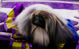 epa09269344 'Wasabi', a Pekingese breed, winner of Best in Show during the 145th Annual Westminster Kennel Club Dog show on the grounds of the Lyndhurst Estate, a historic mansion, in Tarrytown, New York, USA, 13 June 2021. This year s dog show was delayed from its normal time in February due to the coronavirus pandemic and is being held from 11 to 13 June 2021.  EPA/Peter Foley