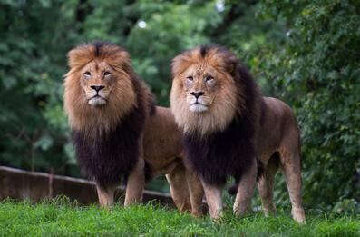 Coronavirus, positivi leoni e tigri dello zoo di Washington