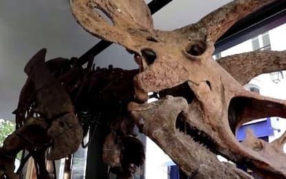 Francia, all'asta scheletro triceratopo più grande mai rinvenuto