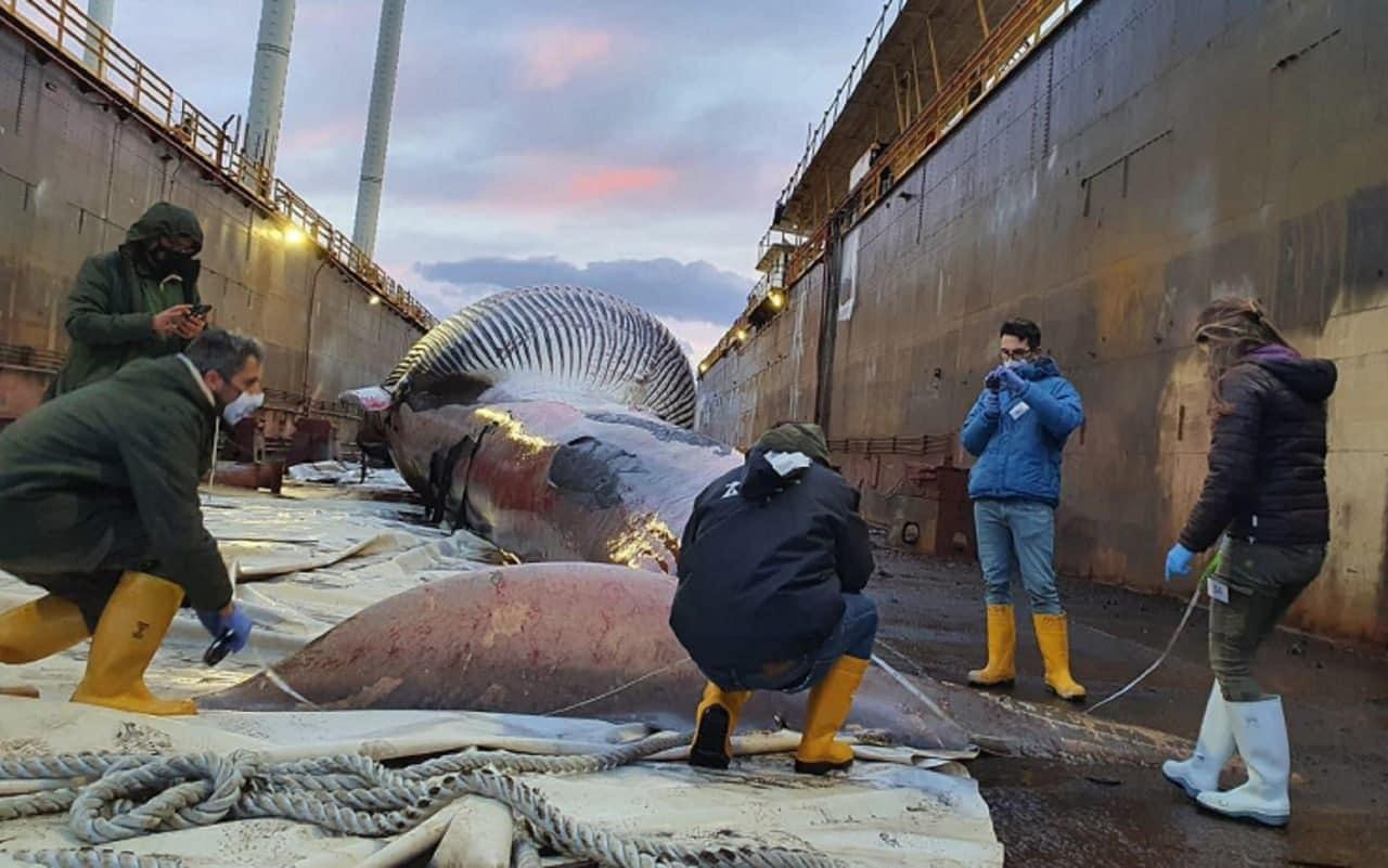 La balenottera trovata morta nel porto di Sorrento