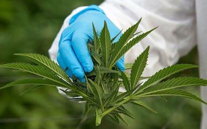 Usa, la Virginia legalizza la marijuana per uso personale