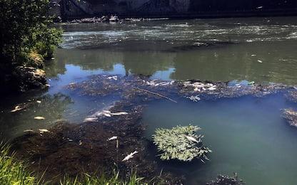 Decine di pesci morti nel Tevere trascinati fino alla foce a Fiumicino