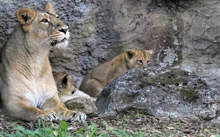 La mamma con i due cuccioli di leone asiatico appena nati al Bioparco di Roma, Roma, 10 luglio, 2020. ANSA/RICCARDO ANTIMIANI