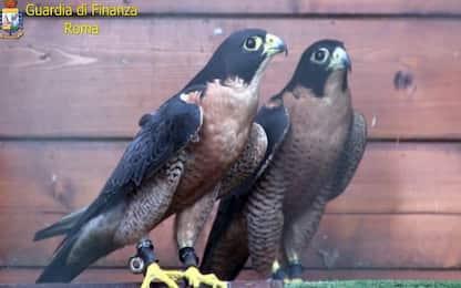 Roma, rientra da Dubai con 2 esemplari di falco pellegrino: denunciato