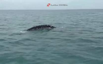 Fiumicino, avvistata balena grigia passata da costa di Napoli. VIDEO