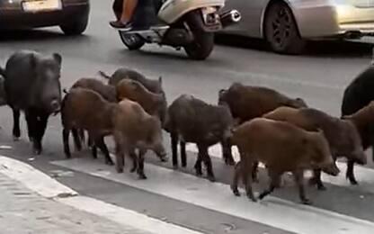 Roma, cinghiali avvistati davanti a un asilo nido