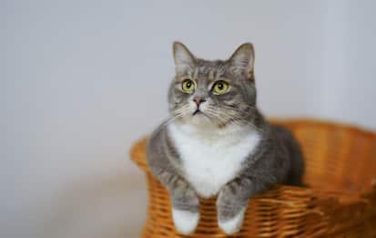 Coronavirus, i gatti a rischio Covid-19 più di quanto si pensasse