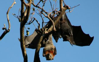 epa05176081 An undated handout picture made available by Australia's Commonwealth Scientific and Industrial Research Organisation (CSIRO) on 23 February 2016 shows a Black Headed flying fox (top) and a Grey Headed flying fox (bottom) at an unknown location, Australia. According to media reports on 23 February 2016, CSIRO studied the Australian black flying fox in a research on immune systems using new techniques that could lead in providing defense to humans from deadly diseases such as Ebola, Hendra virus, and Middle Eastern Respiratory Syndrome (MERS) that bats host. The new findings will help designing vaccines and treatments.  EPA/CSIRO AUSTRALIA AND NEW ZEALAND OUT HANDOUT EDITORIAL USE ONLY/NO SALES