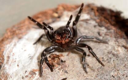 Proteina presente nel veleno di un ragno può prevenire danni cardiaci
