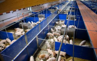 24 June 2021, Brandenburg, Groß Pankow: Nine-week-old piglets stand and lie in their stalls on a surface of sawdust and maize silage at Prignitzer Landschwein GmbH. Ralf Remmert's farm is the model and demonstration project (MuD) for improving animal welfare in pig farming, which is funded by the Ministry of Agriculture. The aim of keeping the animals as a family is to minimise stress for the pigs. Photo: Soeren Stache/dpa-Zentralbild/dpa (Photo by Soeren Stache/picture alliance via Getty Images)