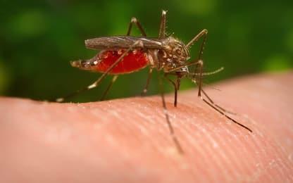 La zanzara giapponese si sta diffondendo in Italia: le caratteristiche