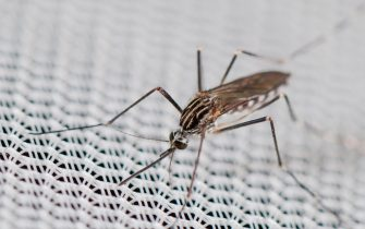 Found from 2012 in Belgium and Italy Aedes koreicus is an Asian invasive species