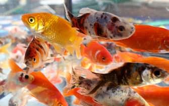 many goldfish swim in the aquarium of the pet shop