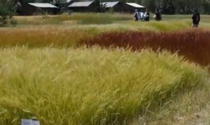 Nel Dna tutti i segreti del teff, antico cereale etiope senza glutine