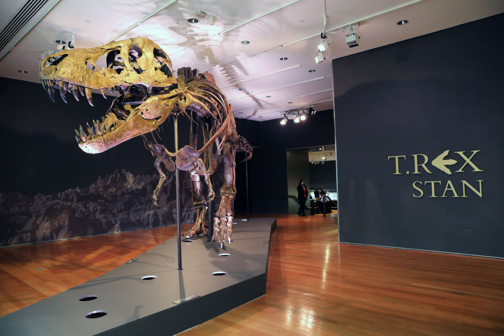 NEW YORK, NEW YORK - SEPTEMBER 17: A Tyrannosaurus Rex dinosaur fossil skeleton is displayed in a gallery at Christieâ  s auction house on September 17, 2020 in New York City. Owned by the Black Hills Institute of Geological Research in South Dakota, the skeleton is known as â  Stanâ   for the amateur paleontologist Stan Sacrison who found the initial bones in 1987. The bones were discovered in a remote area that spans North and South Dakota, Wyoming, and Montana. Stan, with an estimated value between $6 million and $8 million, is considered one of the largest and most complete examples of a T-Rex, with 188 original bones. The skeleton will be auctioned as part of Christieâ  s  20th Century evening auction on Oct. 6 in New York.  (Photo by Spencer Platt/Getty Images)
