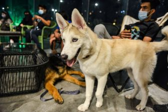 "A Husky stands while another German Shepherd lies down by their owners at the ""Barking Lot"" cafe in Saudi Arabia's eastern Gulf city of Khobar, 450 kilometres east of the capital, on September 25, 2020. - Dog owners in Saudi Arabia can now enjoy a cup of coffee outside their home alongside their beloved pets in a new cafe -- a first for the ultra-conservative kingdom. The Barking Lot, which opened its doors in June in the coastal city of Khobar, has brought them much relief amid restrictions on animals in public places. Dogs are generally prohibited from walking in public and, unlike cats, are considered unclean in Islam, which originated in Saudi Arabia. (Photo by FAYEZ NURELDINE / AFP) (Photo by FAYEZ NURELDINE/AFP via Getty Images)"