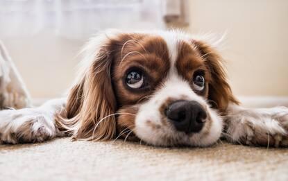 Scienza, un cane adulto su tre ha l'artrosi. Ecco come riconoscerla