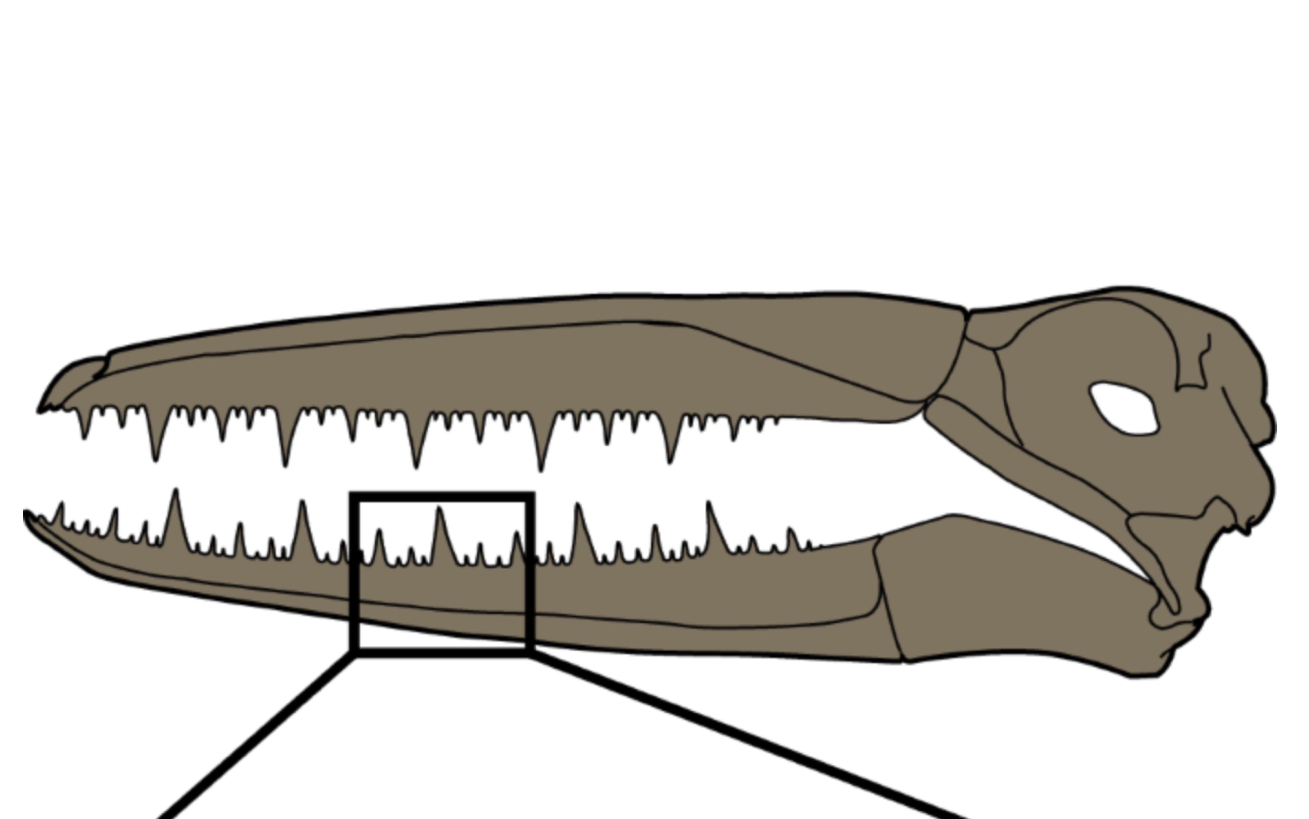 Una ricostruzione del cranio di questi esemplari