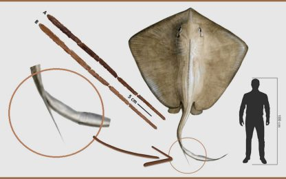 Pliocene, nel Mediterraneo nuotavano razze di dimensioni titaniche