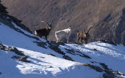 Stambecco bianco e senza corna avvistato in Val di Susa. FOTO