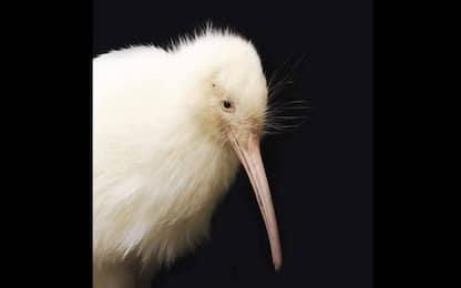 Nuova Zelanda, raro kiwi bianco Manukura è deceduto dopo un intervento