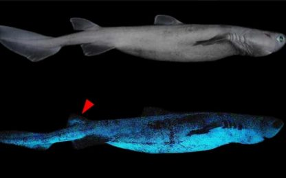Nuova Zelanda, scoperte specie di squalo che si illuminano al buio