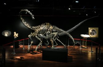 TOPSHOT - The skeletons two Jurassic age (161-145 million years) dinosaurs, a Diplodocus (back) and an Allosaurus (front) are displayed on April 6, 2018, before being auctioned on April 11 at the Drouot auction house in Paris. / AFP PHOTO / STEPHANE DE SAKUTIN        (Photo credit should read STEPHANE DE SAKUTIN/AFP via Getty Images)