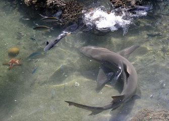 Photo taken on July 11, 2010 shows a lemon shark (R) chasing a mullet (L) at the Living Reef aquarium on Daydream Island in the Whitsundays archipelago off Queensland. The unique man-made, open air lagoon contains a range of fish and coral species from the Great Barrier Reef and is the largest salt water tank in the Southern Hemisphere.  AFP PHOTO / Torsten BLACKWOOD (Photo credit should read TORSTEN BLACKWOOD/AFP via Getty Images)