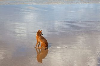 Dingo (Canis lupus dingo) tagged with earmark sitting on the beach on Fraser Island, Queensland, Australia. (Photo by: Arterra/Universal Images Group via Getty Images)
