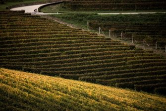TOPSHOT - A cyclist rides on a road crossing fields of Nebbiolo grapes, which are used to make Barolo wine, during the harvest in the Langhe countryside in Barolo, near Alba, northwestern Italy on October 18, 2018. (Photo by MARCO BERTORELLO / AFP)        (Photo credit should read MARCO BERTORELLO/AFP via Getty Images)