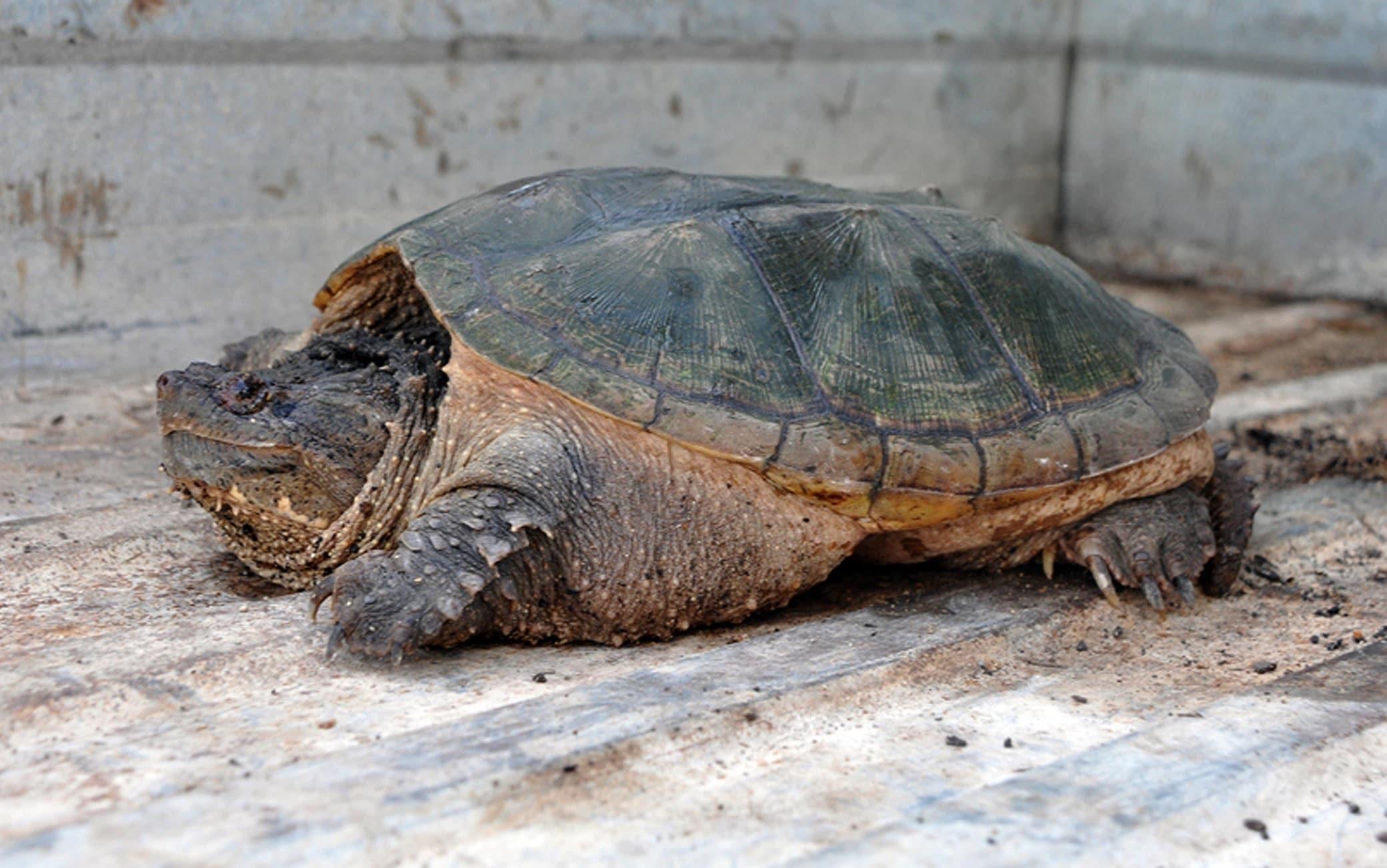Una tartaruga azzannatrice (Chelydra serpentina)