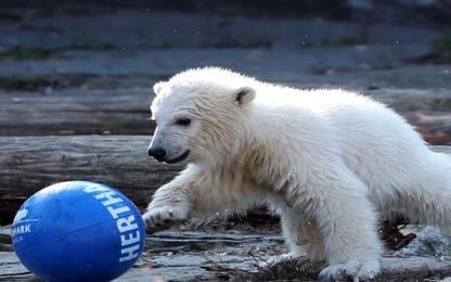 Hertha, l'orsa del club che gioca a palla. VIDEO