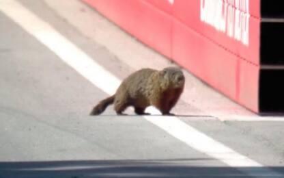 Il giorno della marmotta: invade la pista. VIDEO